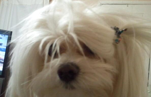 Top knot maltese dogs forum spoiled maltese forums