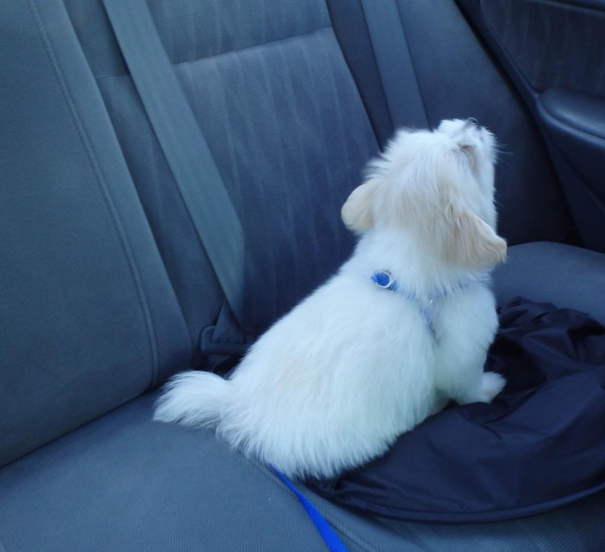 Is my puppy a purebred maltese? - Maltese Dogs Forum