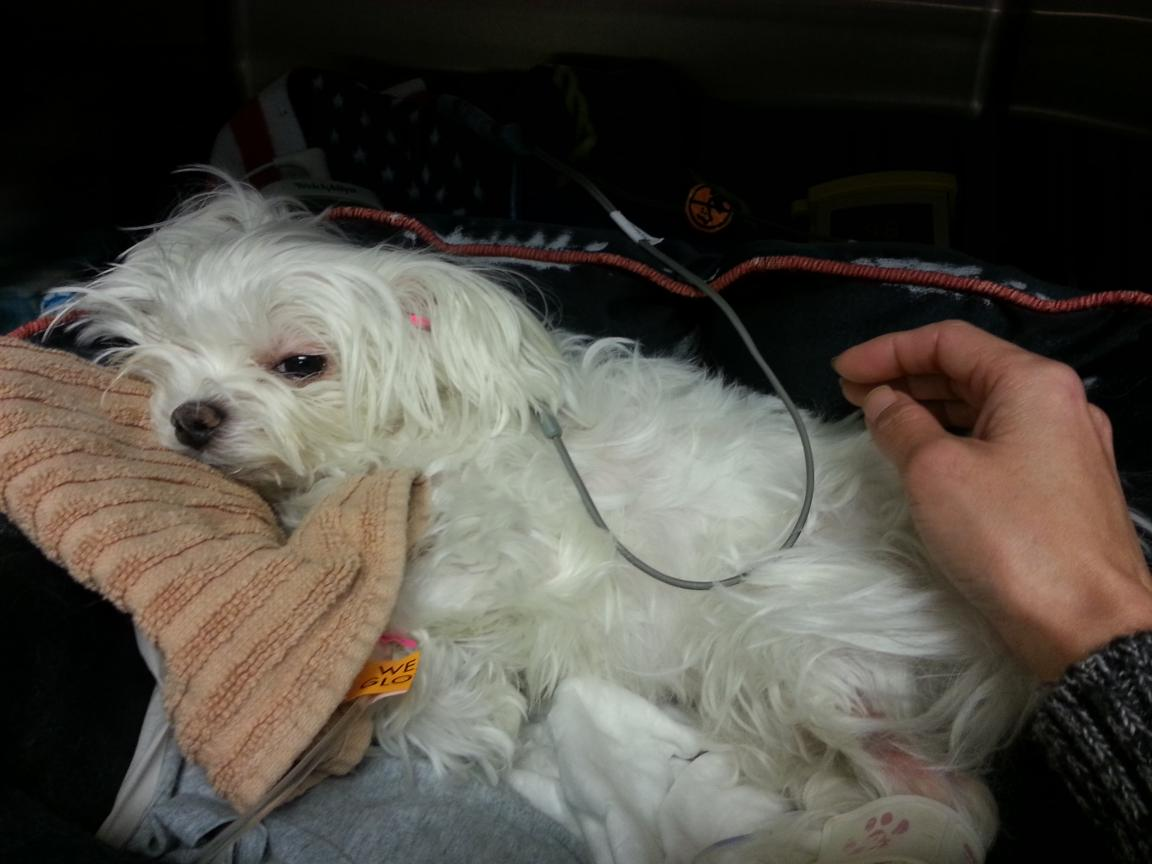 Update:  Poor Biscuit is back in ER-biscuit_afternoon_visit15_12-11-12.jpg