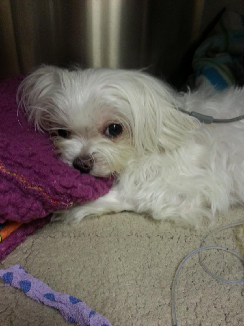 Update:  Poor Biscuit is back in ER-biscuit_evening_visit2_12-11-12.jpg