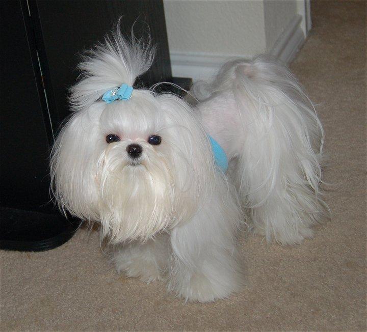 Enjoyable Haircut Ideas Maltese Dogs Forum Spoiled Maltese Forums Short Hairstyles For Black Women Fulllsitofus