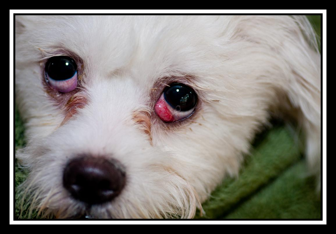 Cherry Eye In Dogs And Cats