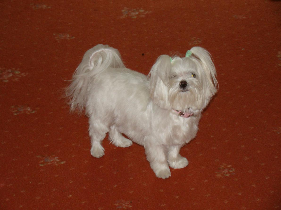 Summer Cut Maltese Dogs Forum Spoiled Maltese Forums