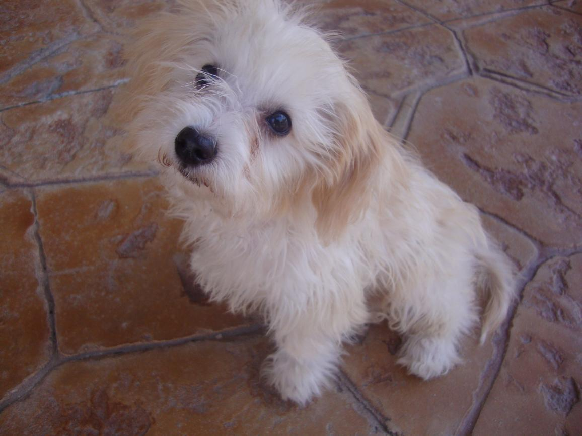 Is my 4 month old pup pure Maltese or mix? - Maltese Dogs ...