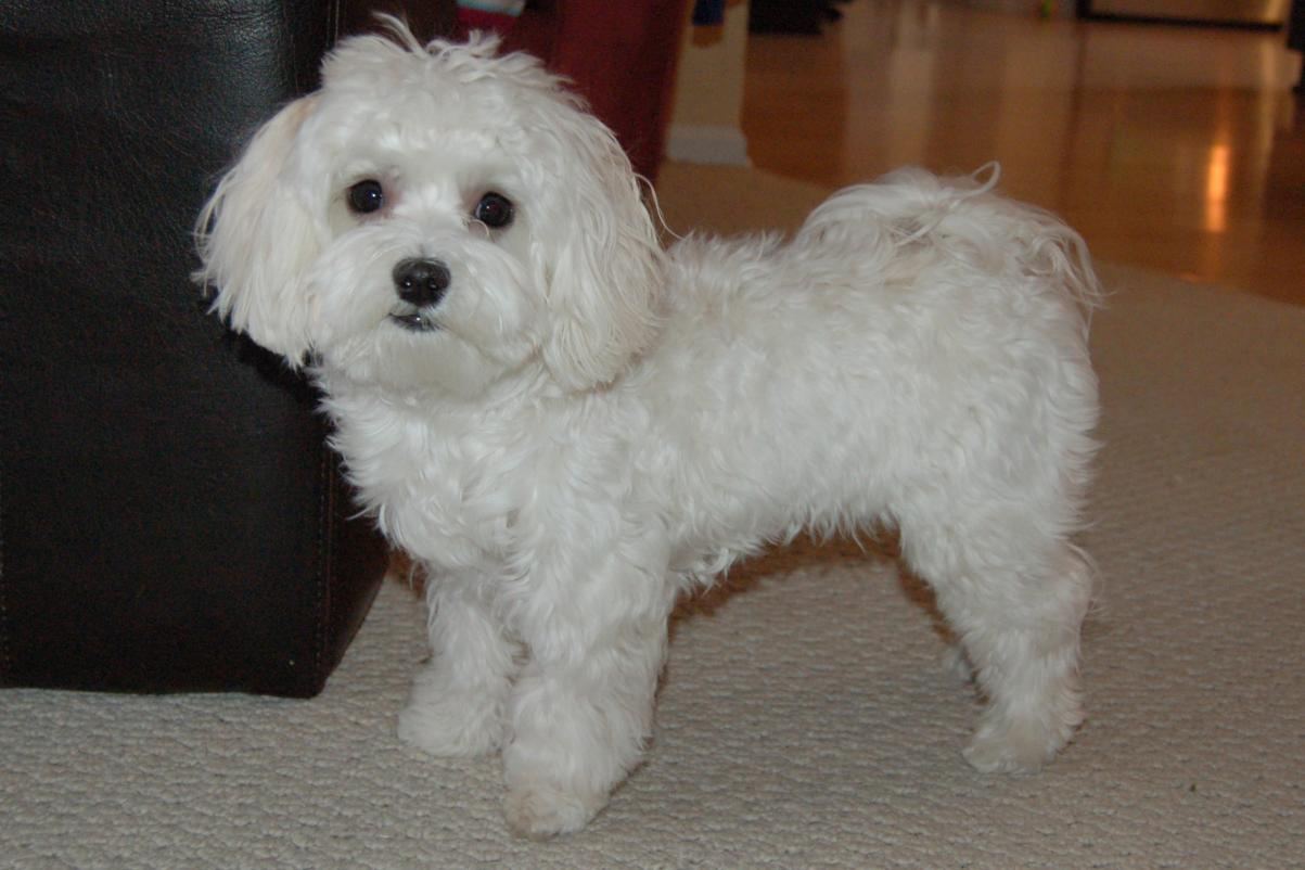 Puppy Cuts Page 11 Maltese Dogs Forum Spoiled Maltese Forums