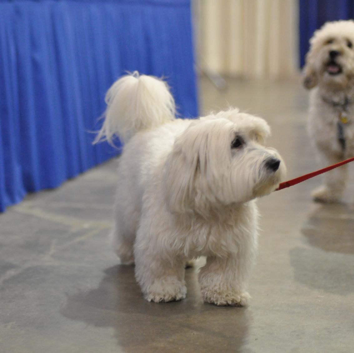 Dog Breed Coton Tzu