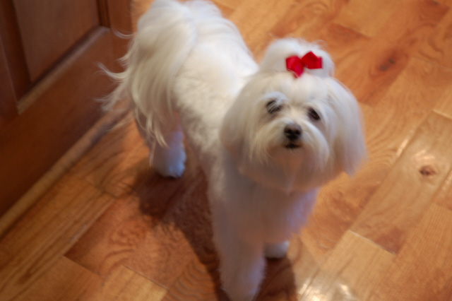 grooming styles haircuts hairstyles maltese dogs forum spoiled maltese forums 2670