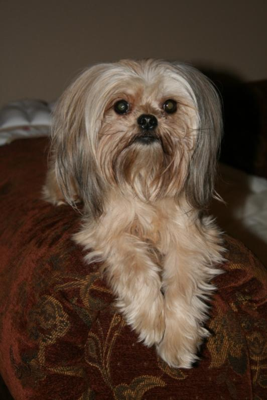 maltese mix with yorkie maltese vs yorkie page 2 maltese dogs forum spoiled 3038