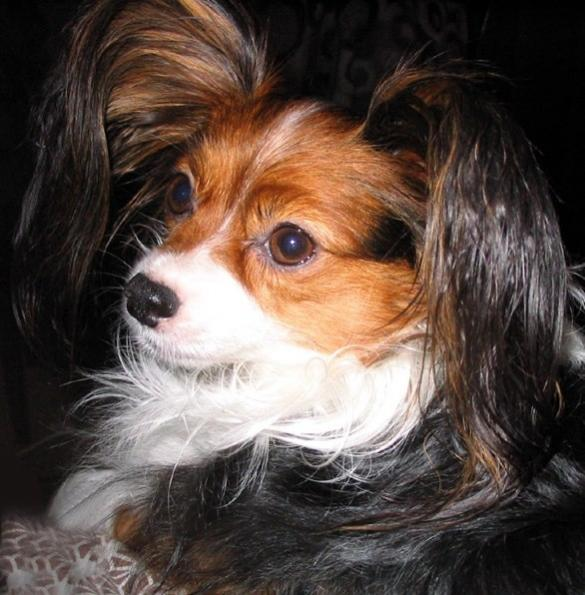 Can you guys stand one more Papillon picture?-image.jpg