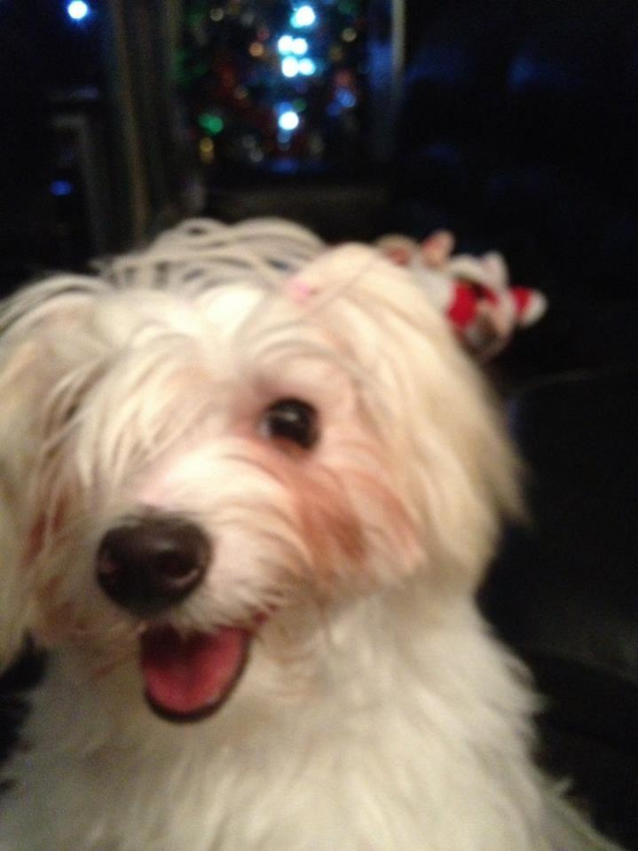 Hi from Maltese cross Silky Terrier,  Aoife-image.jpg