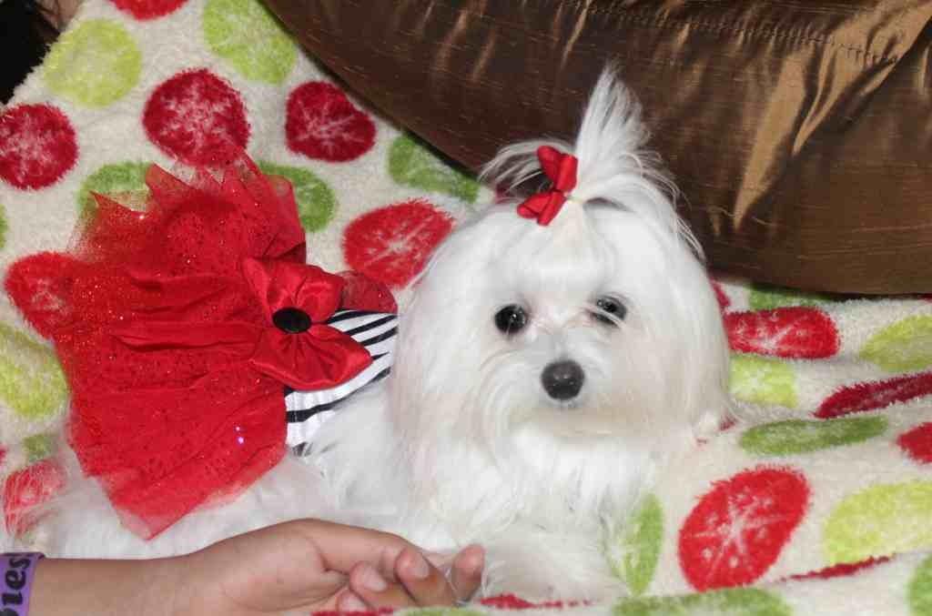 A very doggie Christmas-imageuploadedbypg-free1356502362.024441.jpg