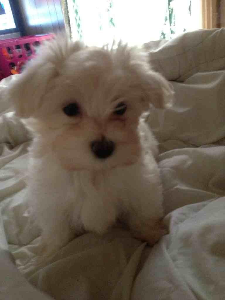 I have a teddy bear/ malt!-imageuploadedbypg-free1357836429.540208.jpg