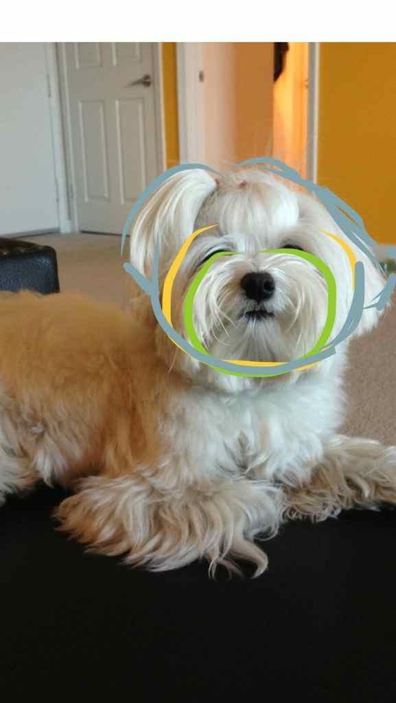 Teddybear Face Maltese Dogs Forum