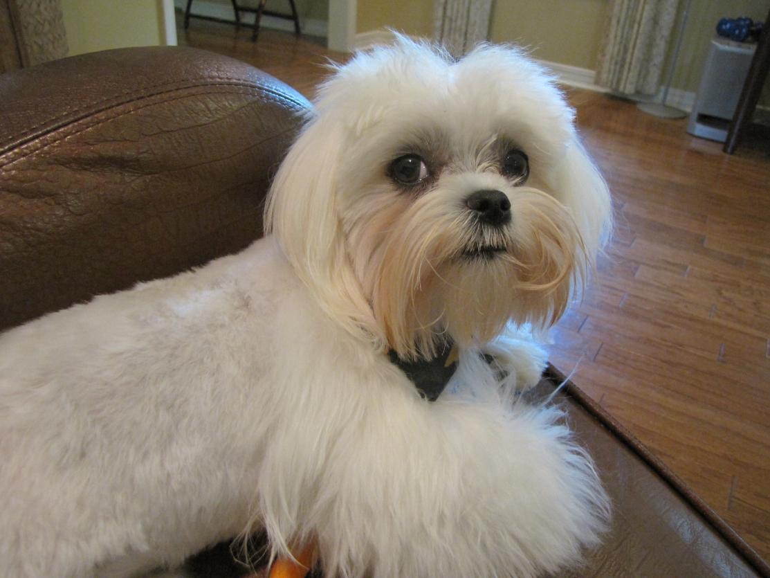 Maltese Dog Haircut Styles
