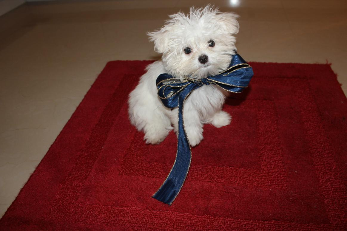 Hello From Cutish Papi Maltese Dogs Forum Spoiled Maltese Forums