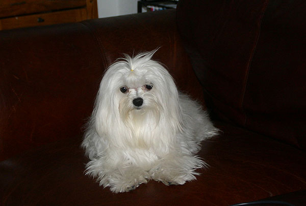 Pin Maltese Dogs Haircuts on Pinterest