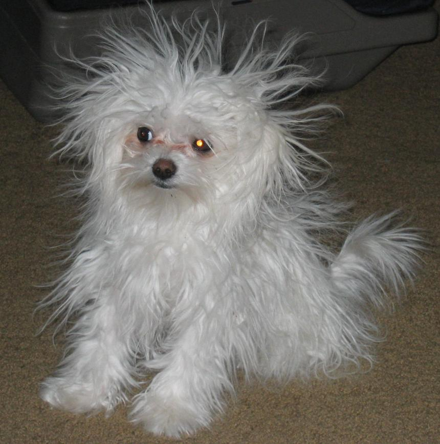 Someone S Having A Bad Hair Day Maltese Dogs Forum