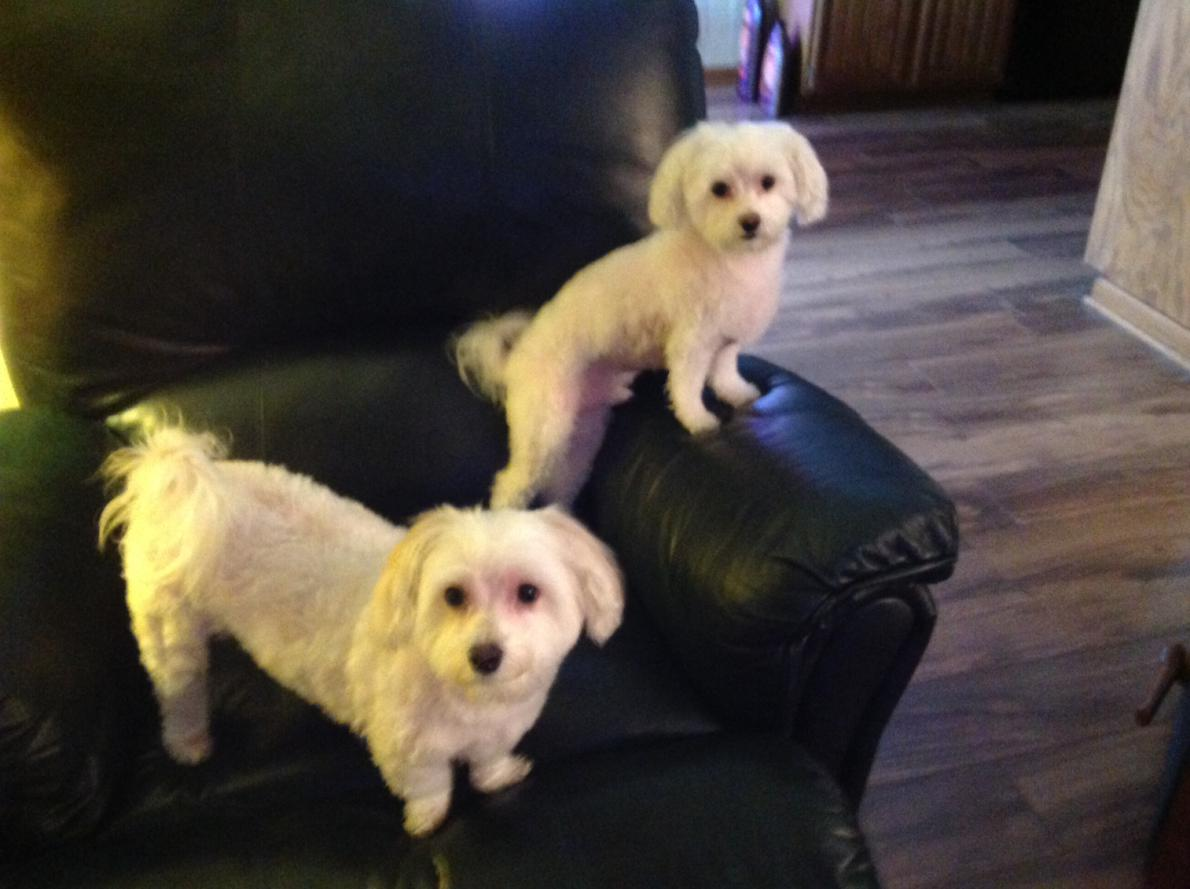 Help from our Maltese family-maltese-bailey-brody.jpg