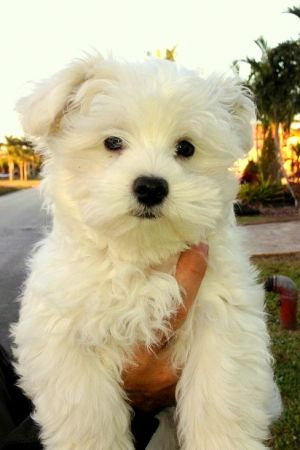 Niko says Hello from Florida!!-maltese.jpg