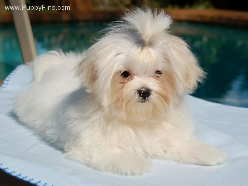 Teddy Bear Dog Cut http://spoiledmaltese.com/forum/51-maltese-grooming/63239-maltese-teddybear-cut.html