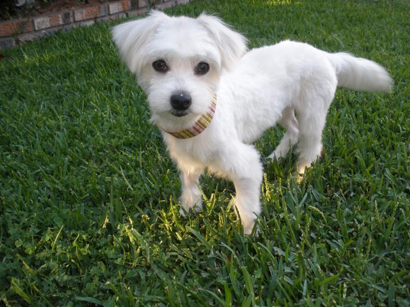 Rescue Maltese Available For Adoption: Rezzie-r1.jpg