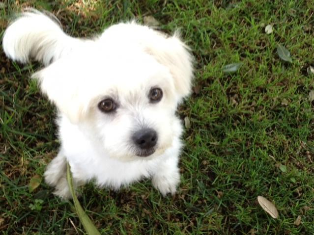 Rescue Maltese Available For Adoption: Rezzie-r3.jpg