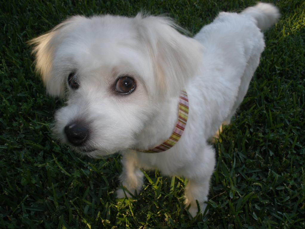 Rescue Maltese Available For Adoption: Rezzie-rwhome.jpg