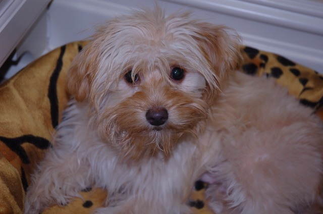 Maltese Or Yorkie Mix Maltese Dogs Forum Spoiled Maltese