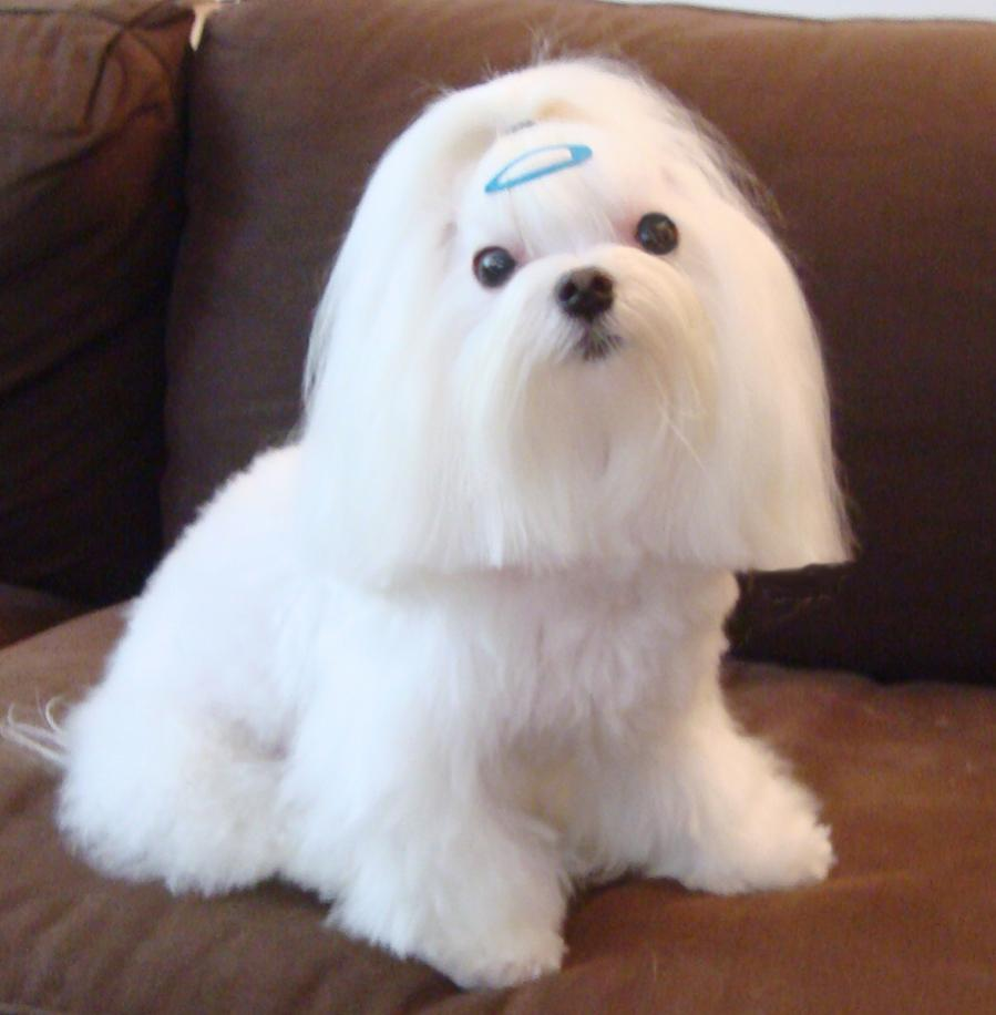 Casanova And Bijou Haircuts And Birthdays Maltese Dogs Forum