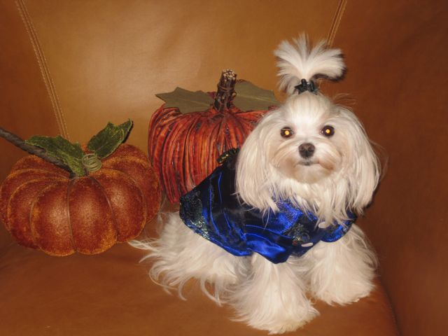 halloween costume picture contest page 6 maltese dogs forum