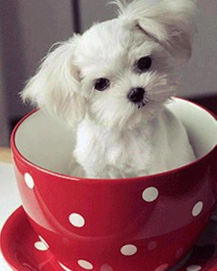 want this face hair cut fort my girls???-tea-cup-puppy.jpg