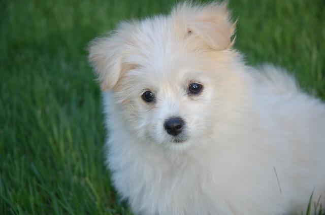 Cute But Evil Maltese Dogs Forum Spoiled Maltese Forums