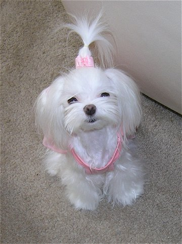 Hair Cuts  Dogs on Hair Styles   Page 3   Maltese Dogs Forum   Spoiled Maltese Forums
