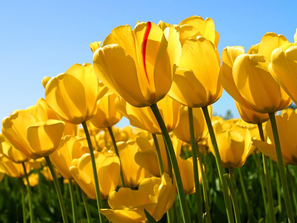SM is Amazing & Teddy's legacy-tulips.jpg